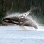 Breaching Whale in Alaska