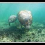 Manatees Florida Crystal River